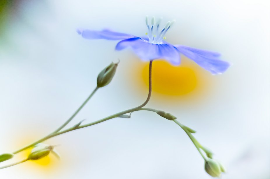 A flax blossom in the middle of a patch of daisies in our yard...