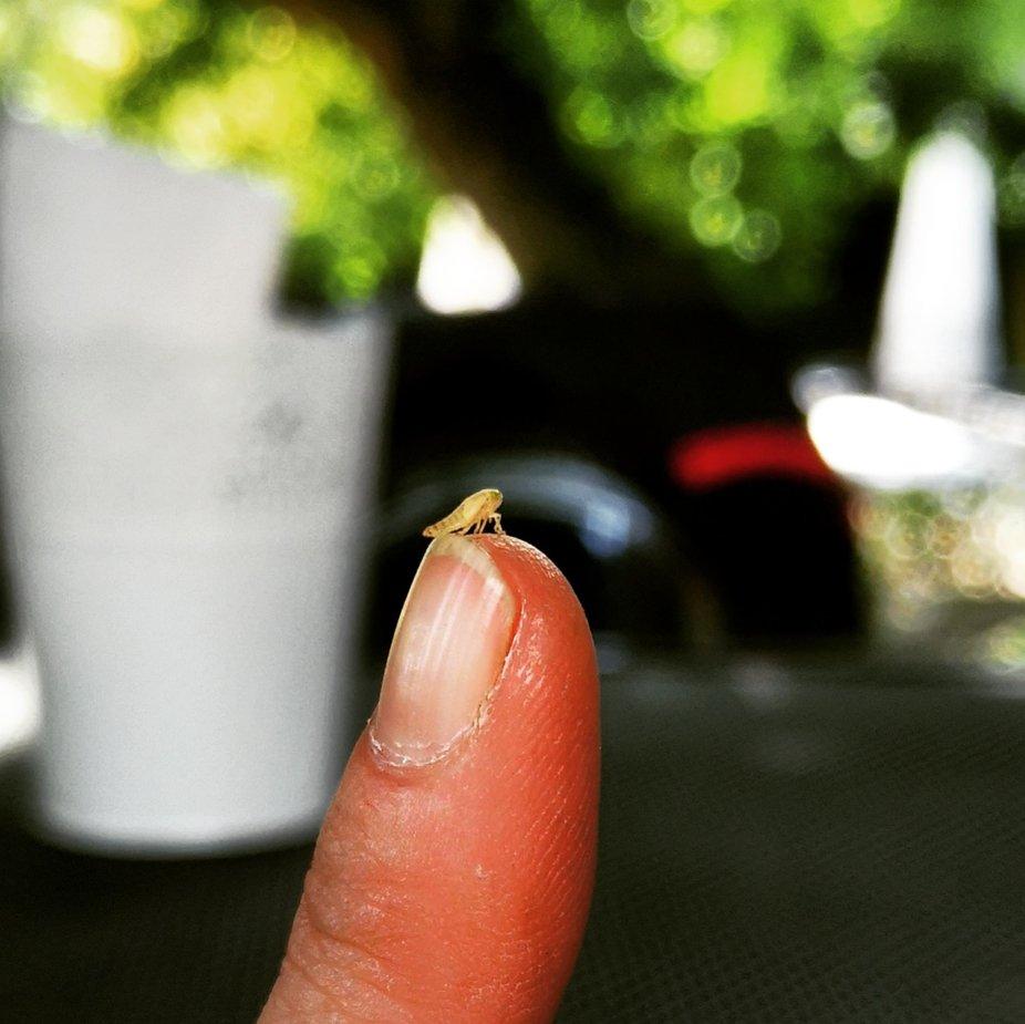 Dieser kleine Hüpfer ist gerade 4 mm groß und springt mit einer enormen Kraft die man spürt. Hier macht er gerade Pause