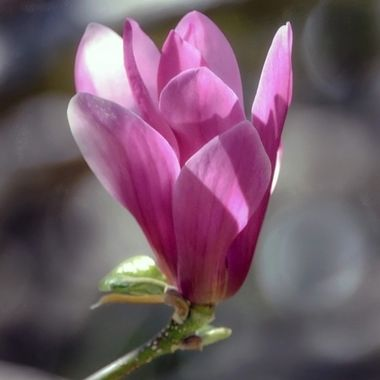 Purple Or Pink....Regardless It Is  Still Beautiful