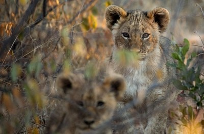 Exposed Cubs