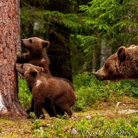 Two Brown Bear cubs found some nice on the pine and moma bear watching over them!