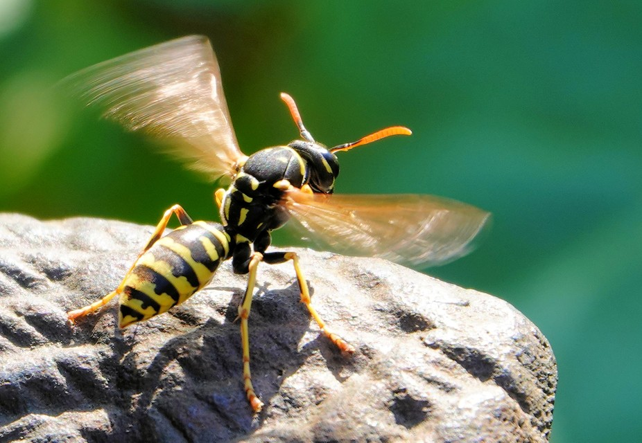French wasp