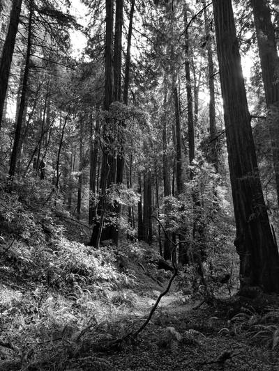 Black and white sun beam in Muir Woods