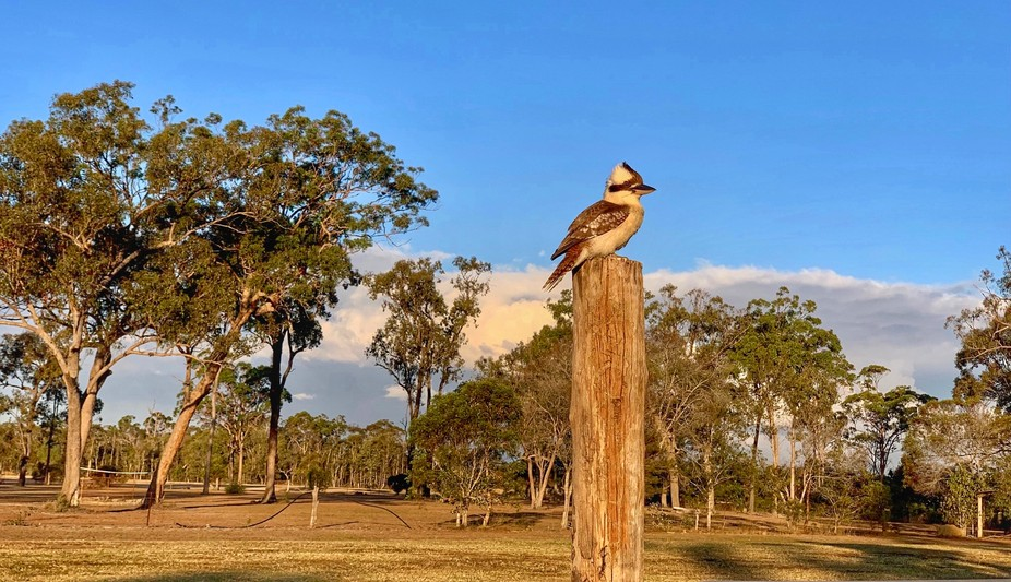 The land is parched from lack of rain for months now and the kookaburra is scanning the area for ...