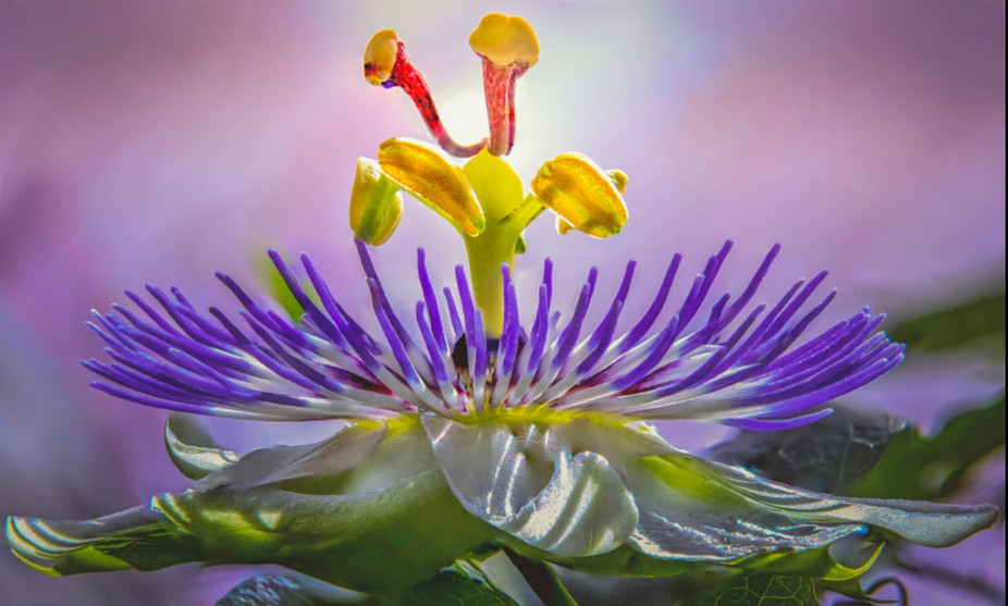 . What a facinating flower with a souch short life. Beauty for a day.