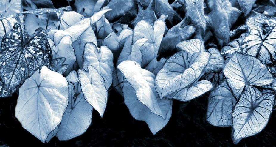Calladiums black