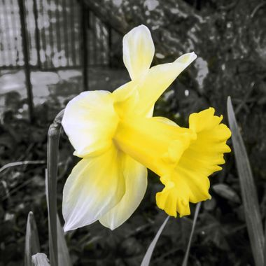 Daffodil  -  Selective Colouring