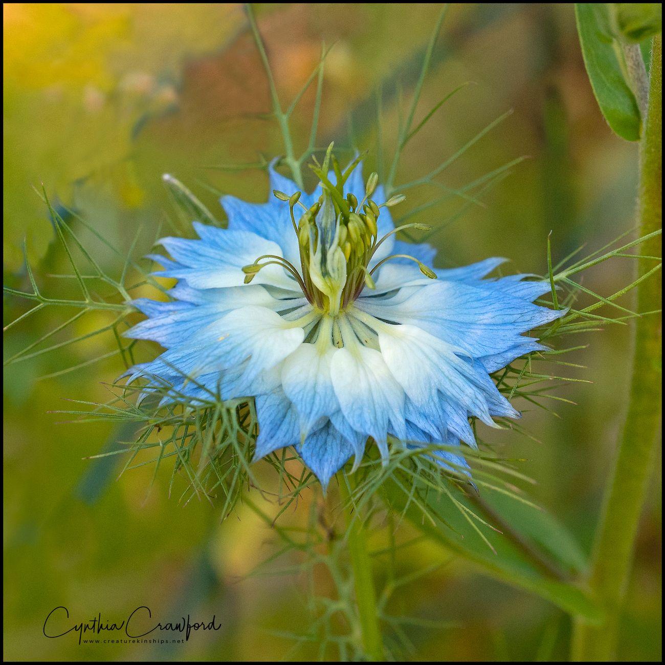 Love -in-a-mist-beautiful flower in a friend's garden