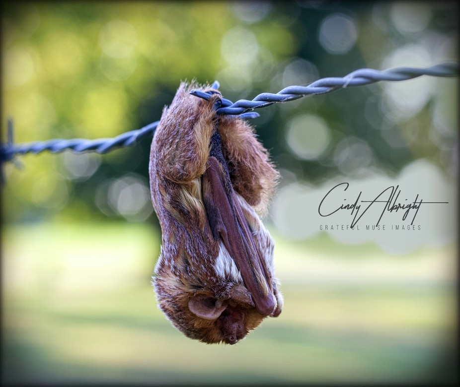This little brown bat hanging on a barb wire fence looks like he's just hiding from the world praying.  I have felt that way many times!