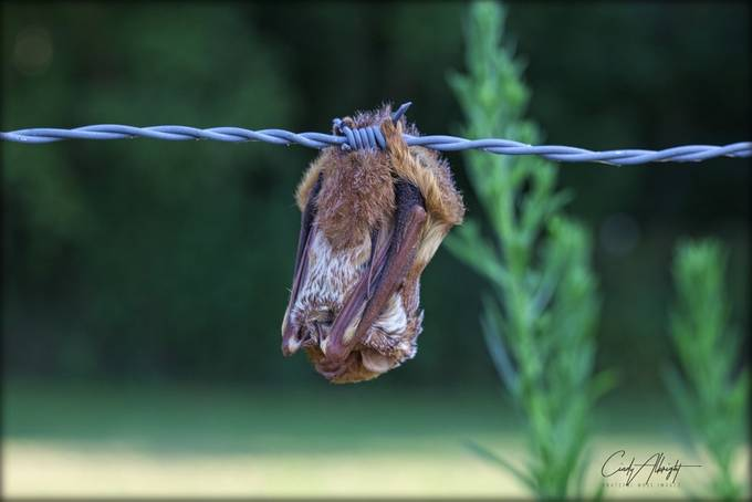 Little Brown Bat taking a nap on a hot July evening.