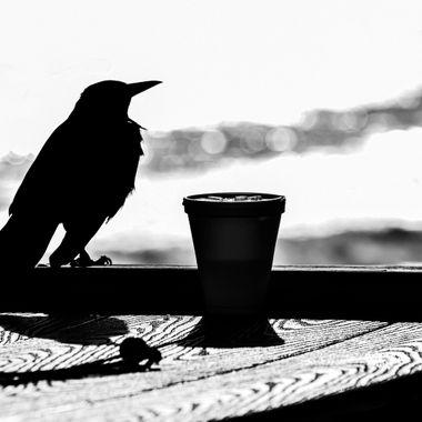 Blackbird Sitting on a Perch NW