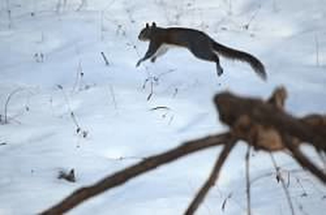 A squirrel leaping from tree stomp to branch.