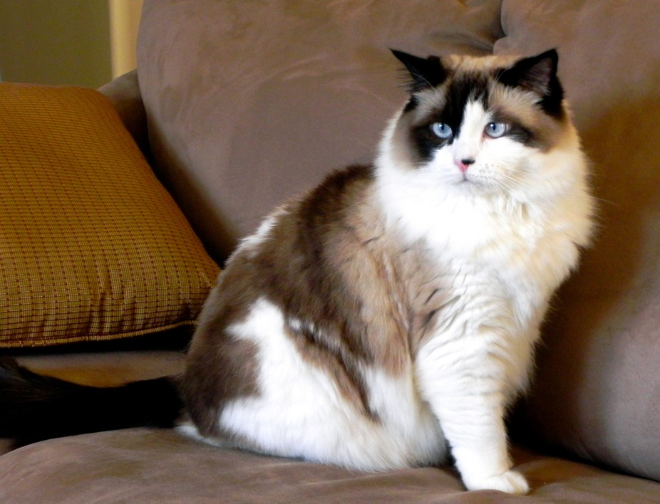 """Ragdoll """"Purl"""", our spoiled cat"""