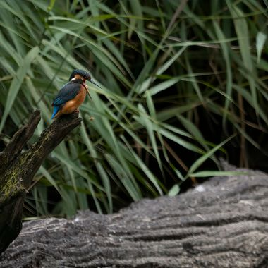 A Kingfisher disgorging a pellet of bones and scales..