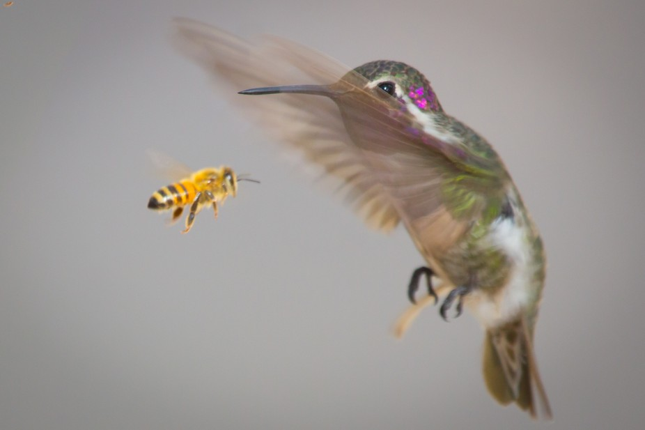 Hummingbird and bee fighting over territory