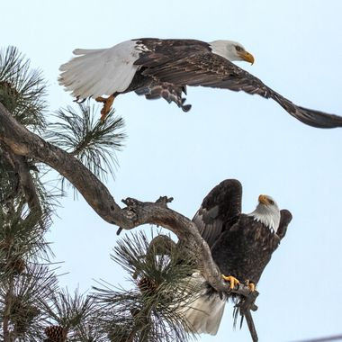 IMG_9903 Bald Eagles