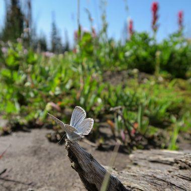 In a meadow on the west side of Mt Adams