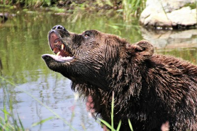 Grizzly Bite