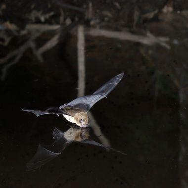 Murcielago en el momento que impacta con el agua para beber. Barrera de IR y tres flashes. Tomada en La Sierra de Francia (Spain)