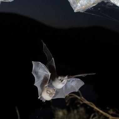 Murcielago en vuelo, entrando en la cueva al amanecer. Barrera de IR y flashes. La doble imagen es debido a que uno de los flashes tiene distinta velocidad de disparo, buscando efectos diferentes. Sierra de Francia (Spain)