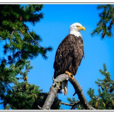 American Bald Eagle II