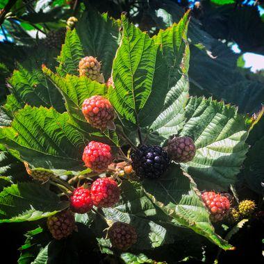 Berries in Sequim