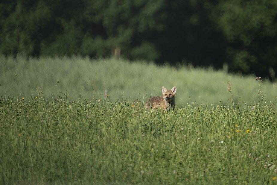 Suwalszczyzna fox