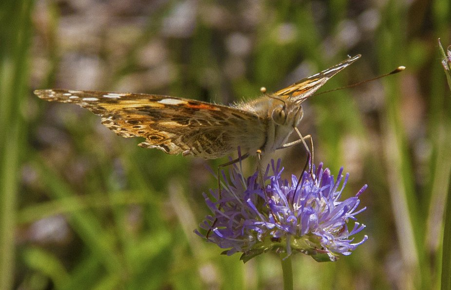 Vanessa cardui fly from north africa to sweden some years reproduce and the 2 generation fly back...
