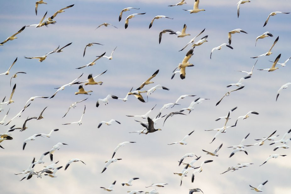Snow Geese circling as they come in for landing