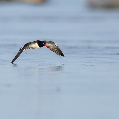 Oyter Catcher flight