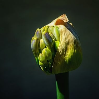 Lily of the Nile Bud Pod NW