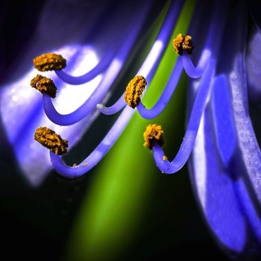 Pollen on Lily of the Nile NW