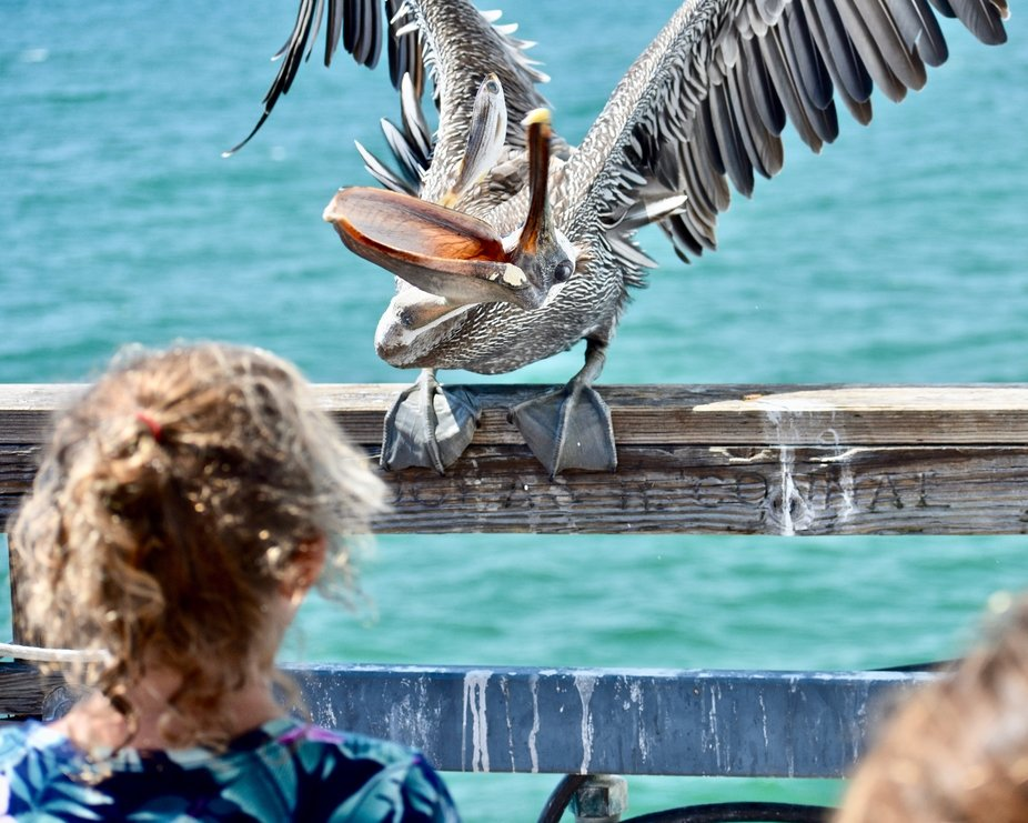 Children feeding a Pelican