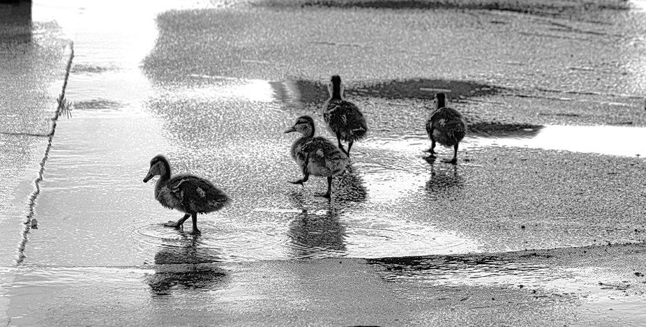 baby quack quacks
