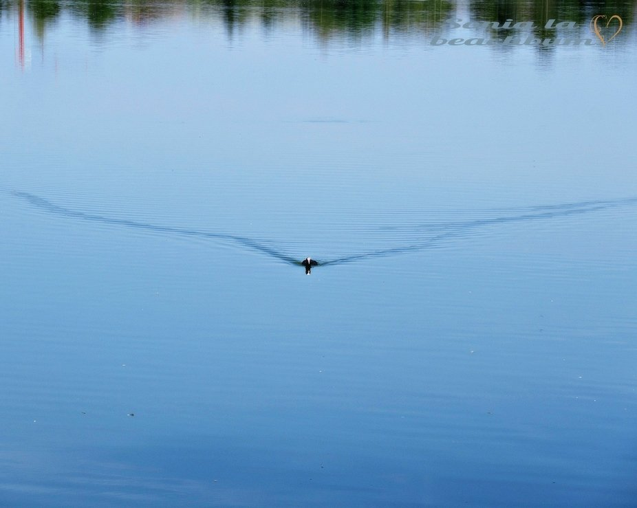 Sitting on the shore, I saw this coot at far... I smiled as I noticed it was heading my way  :)