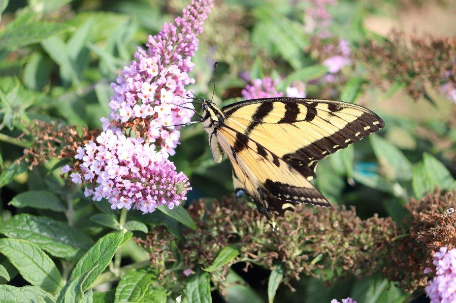butterfly on my butterfly bush