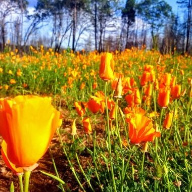 Wild poppies after wildfire