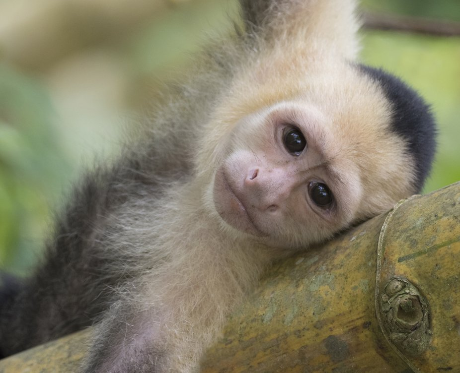 I immediately fell in love with this White-faced Capuchin monkey who was napping in the trees alo...