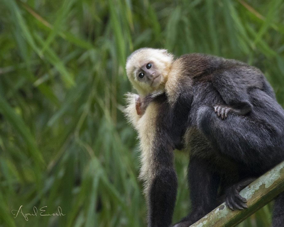 A tiny White-faced Capuchin clings to his mother's back as they search for breakfast.