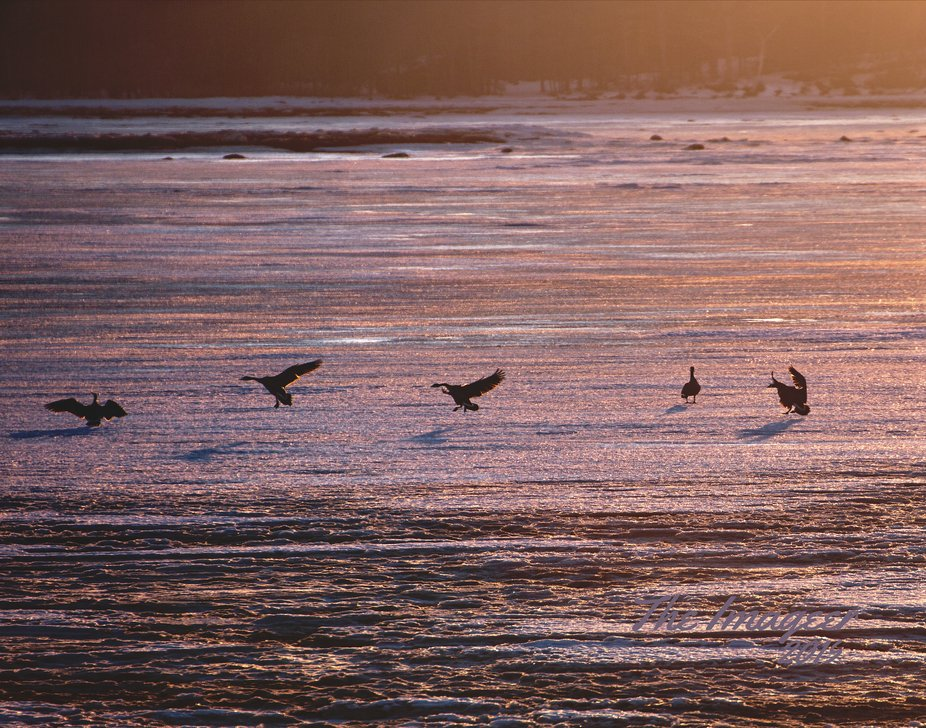 Geese seem to love the Golden Hour. They dance on the water!  This was taken at a remote beach in...