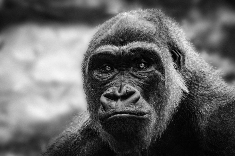 Staring into the eyes of this gorilla gives you a real sense of the emotion felt by these beautif...