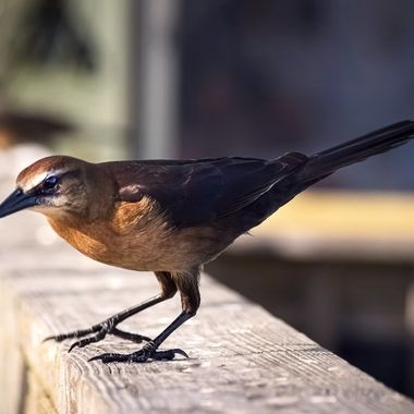 Boat Tailed Grackle NW