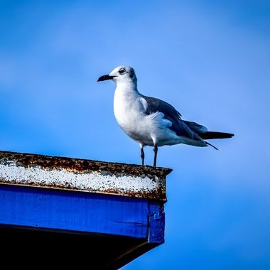 Seagull on a Roof NW