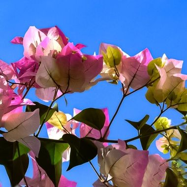 Bourgainvillea in the Sky NW