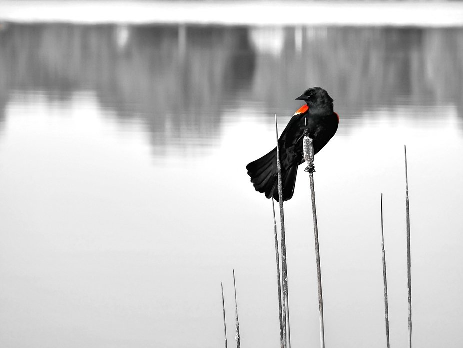 red Winged Blackbird B&W with some color copy