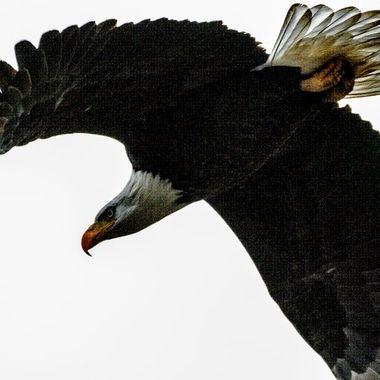0P6A8699-2 Bald Eagle