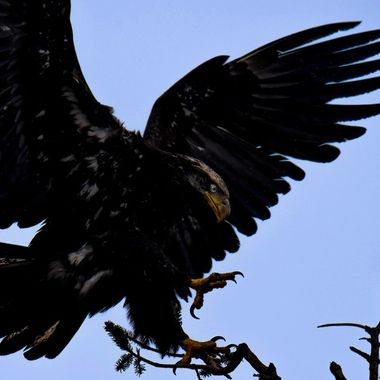 20160320-DSC_7265 Eagle