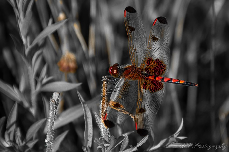 Dragon fly holding on during a break in the winds