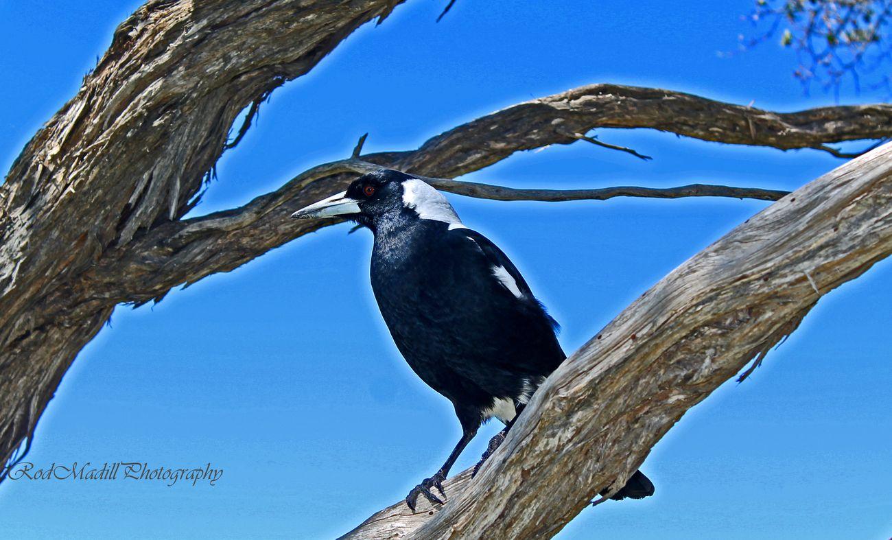 magpie at morninton penninsula