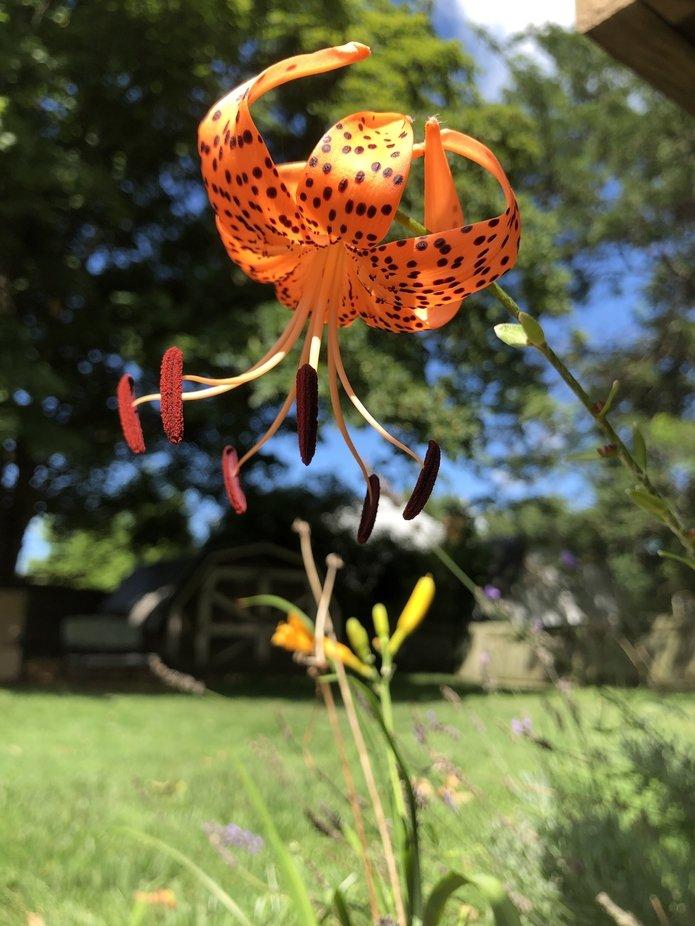 Orange Turkish cap lily